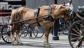მონრეალში 2020 წლიდან ცხენის ეკიპაჟები აიკრძალება