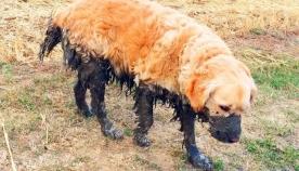 რატომ უყვართ ძაღლების უმეტესობას ტალახში გორაობა?