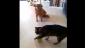ძაღლი გაოცებული უყურებს კატას, რომელიც ბურთით უცნაურად თამაშობს (სახალისო ვიდეო)