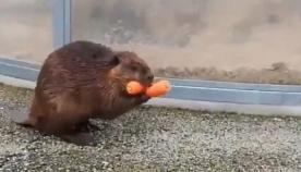თახვმა სხვა ცხოველებს სტაფილოები წაართვა და თავის ოჯახის წევრებს წაუღო (სახალისო ვიდეო)