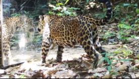 გარეული ცხოველების რეაქცია სარკეში მოულოდნელად ჩახედვის დროს (სახალისო ვიდეო)