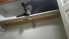 ბინაში შეპარულ დათვს კარადაში ჩაეძინა