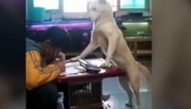 მამაკაცმა ძაღლს ასწავლა, თვალი ედევნებინა თავისი შვილისთვის, რომ გოგონას ყურადღება არ გაფანტვოდა მეცადინეობის დროს (სახალისო ვიდეო)