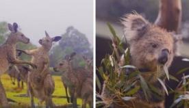 საოცარი კადრები: როგორ შეხვდნენ წვიმას ავსტრალიის ბინადარი ცხოველები (ემოციური ვიდეო)