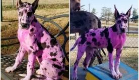 """პატრონმა გადაწყვიტა ძაღლი """"მეგობრული"""" გარეგნობის გამხდარიყო და ის ვარდისფრად შეღება"""