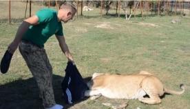 ძუ ლომმა ტურისტის ქურთუკი მოიპარა და არ თმობდა, რის შემდეგაც პატრონის ერთგული ხვადი ლომი