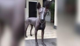 ცოცხალი ძაღლი, რომელიც ყველას ქანდაკება ჰგონია (+ვიდეო)