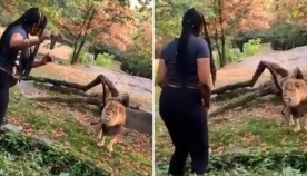 ქალი ლომების სამყოფელში გადაძვრა... მტაცებლის რეაქცია თვითმხილველებისთვის მოულოდნელი იყო (ემოციური ვიდეო)