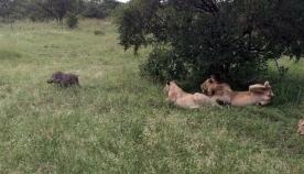 ტახი მძინარე ლომების გარემოცვაში შემთხვევით მოხვდა (სახალისო ვიდეო)