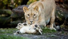 დედები და შვილები ცხოველთა სამეფოში (20 ფოტო)