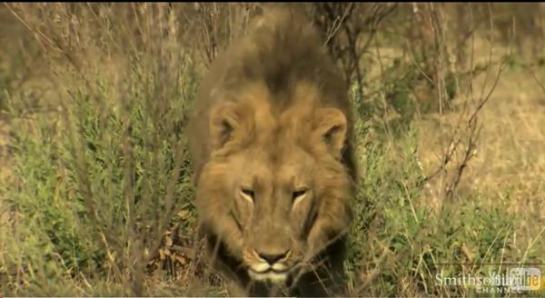ამ ლომმა ძმა დაკარგა... მათი შეხვედრა საოცარი სანახავია (+ვიდეო)