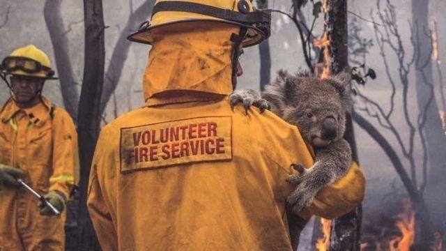 როგორ ეხმარებიან ტყის ხანძრებისაგან დაზარალებულ ცხოველებს ავსტრალიაში