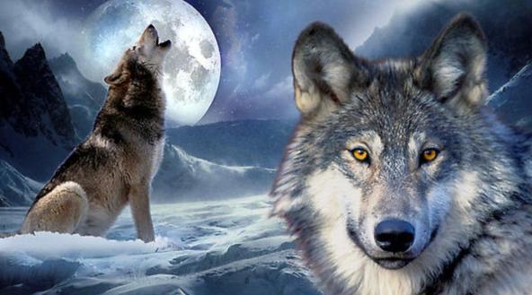 რატომ ყმუიან მგლები მთვარის შუქზე?