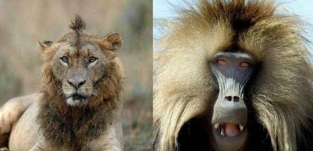 რომელი ცხოველის სტილია მეტად ორიგინალური? დედამიწის ბინადრების 2019 წლის მოდური ვარცხნილობა (სახალისო ფოტოები)