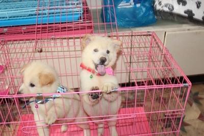 ჩინეთში ძაღლის ხორცის ფესტივალიდან 2 ლეკვი გადაარჩინეს