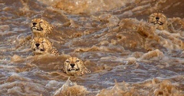 ავაზებმა ნიანგებით სავსე ადიდებული მდინარე გადაცურეს (ემოციური ფოტოები)