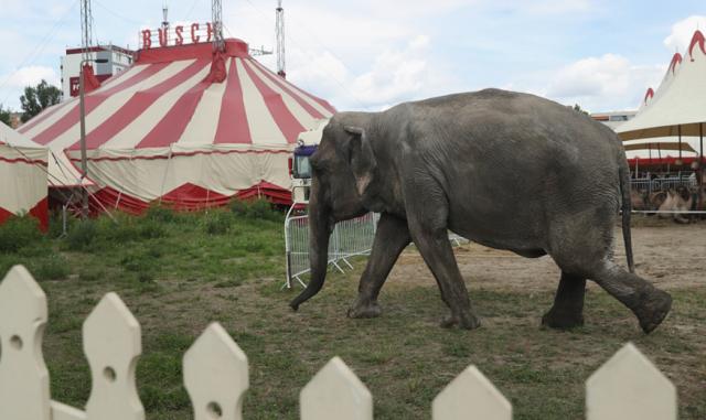 დანიის ხელისუფლებამ ცირკიდან უკანასკნელი სპილოები იყიდა, რათა ცხოველებმა სიბერე თავისუფლებაში გაატარონ
