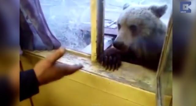 მშიერი დათვი მუშებს მიუახლოვდა, რათა მათ დაეპურებინათ (+ვიდეო)