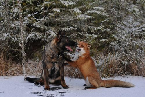 ძაღლისა და მელიას ერთგული მეგობრობა