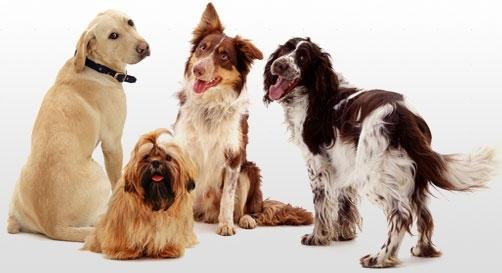 ძაღლის ფასები, პოპულარული ჯიშები და გამოუცდელი მყიდველების მოტყუების ხრიკები თბილისში