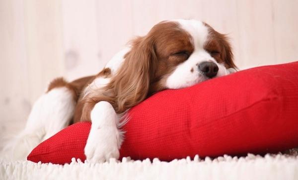 რა ვიცით ძაღლის ძილის შესახებ