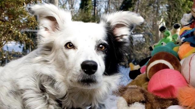 მსოფლიოში ყველაზე ჭკვიანი ძაღლი 15 წლის ასაკში მოკვდა