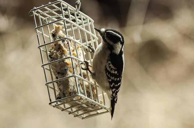 ფრინველების გამოკვება ზამთარში (თქვენ მათ საზრუნავს შეუმსუბუქებთ)