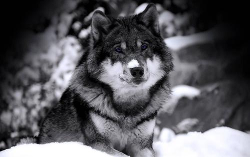 6 მიზეზი, თუ რატომ უნდა გაუფრთხილდეს ადამიანი მგელს