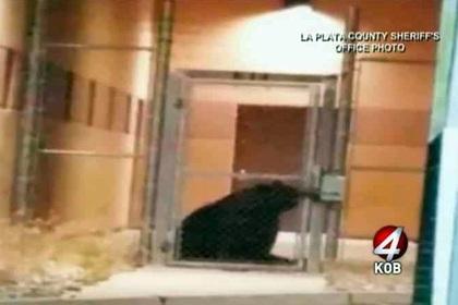 დათვი ამერიკულ ციხეში მოხვდა