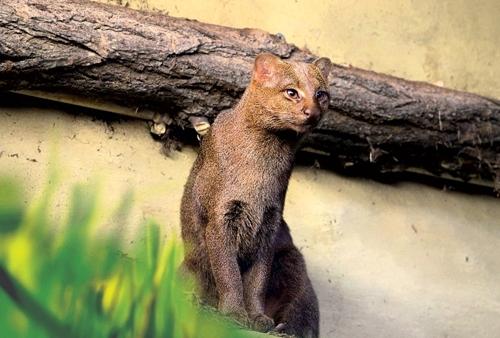 იაგუარუნდი - იშვიათი ცხოველის სახეობა, რომელსაც გადაშენება ემუქრება
