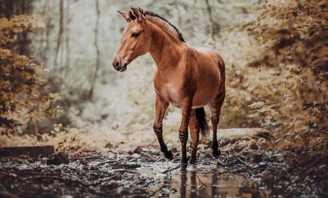 ზებროიდი ანუ უნიკალური ზებრა-ცხენი (შთამბეჭდავი ფოტოები)