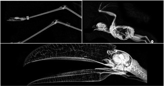ორეგონის ზოოპარკმა გამოაქვეყნა ცხოველების რენტგენის ფოტოები: როგორ გამოიყურება მფრინავი მელა, პითონი, თახვის კუდი?