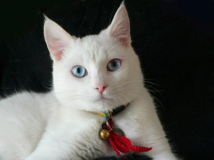თეთრი კატები