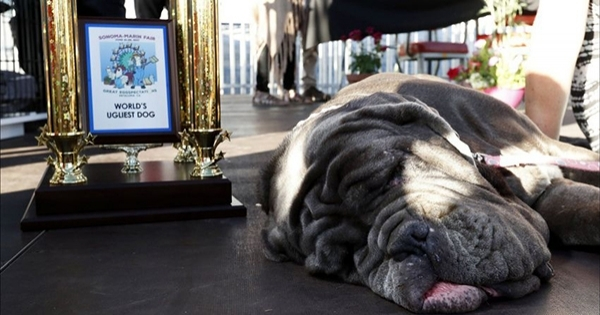 მსოფლიოში ყველაზე მახინჯი ძაღლის ტიტული მასტიფმა, სახელად მართამ მოიპოვა