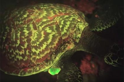 წყნარ ოკეანეში სიბნელეში მანათობელი მსოფლიოში პირველი რეპტილია აღმოაჩინეს (+ვიდეო)
