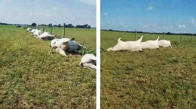 ტეხასში ელვამ ერთი დარტყმით 23 ძროხა მოკლა