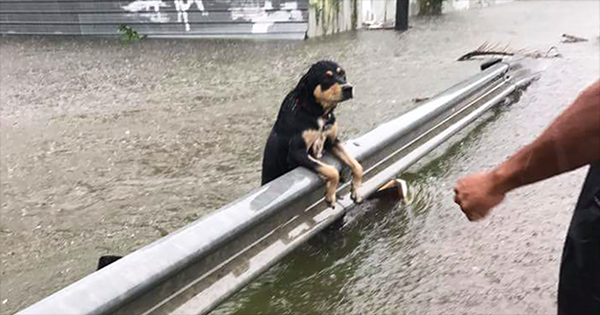 პატრონებისგან მიტოვებული ძაღლების ფოტოები ქარიშხალ ჰარვის დროს