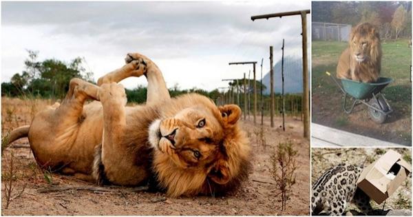დიდი კატები, რომლებიც თავს პატარებად თვლიან (11 ფოტო)