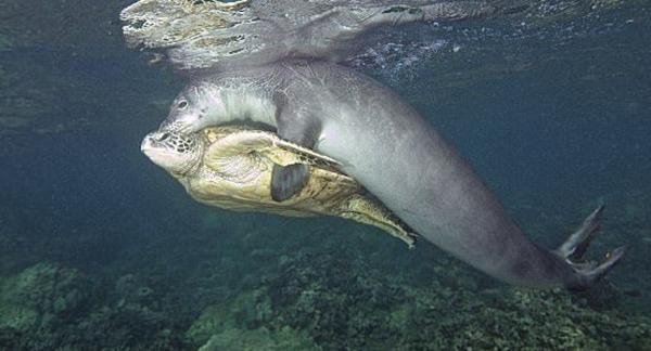 თითქოს სელაპი ზღვის კუს ეთამაშება,  მაგრამ რა ხდება სინამდვილეში?