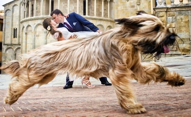 უეცრად ყველაფერი შეიცვალა - 10 წყვილი, რომელთა საქორწილო ფოტოსესია ცხოველებმა ჩაშალეს (+ფოტო)