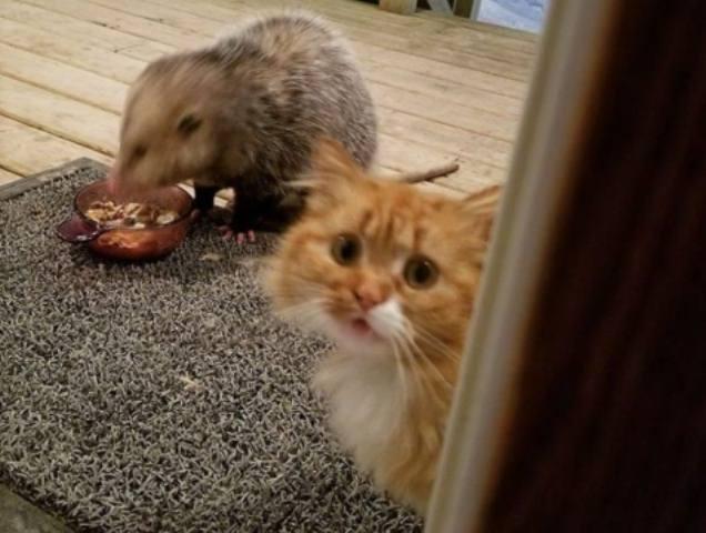 კატა პატრონს დახმარებას სთხოვს... ოპოსუმმა საკვები შეუჭამა