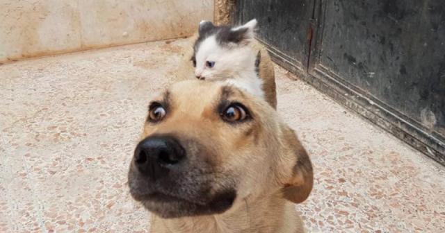 სირიაში მცხოვრებმა უპატრონო ძაღლმა ლეკვების დაკარგვის შემდეგ, ერთი ციდა კნუტი იშვილა