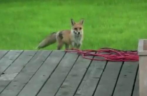 მელია სახლში დაბრუნებულ  მეგობარ ძაღლს საოცარი ხმით  ეძახის, რომ მასთან ერთად ითამაშოს (+ვიდეო)