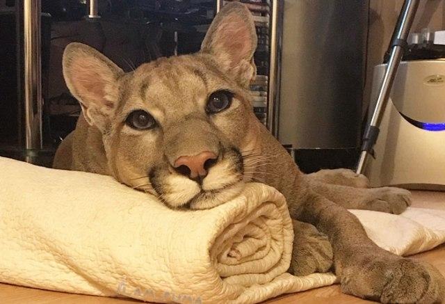 ზოოპარკიდან გადარჩენილი პუმა პატარა ბინაში გათამამებული შინაური კატასავით ცხოვრობს