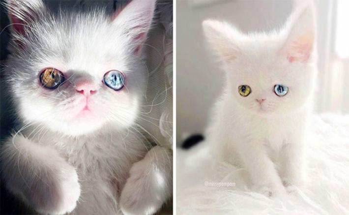 პამ პამი - კნუტი, რომელიც სხვადასხვა ფერის თვალებით დაგაჰიპნოზებთ (+ფოტო)