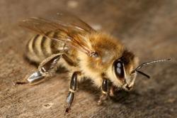 რატომ იღუპება ფუტკარი მას შემდეგ, რაც მსხვერპლს უკბენს...