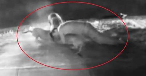 საოცარი კადრები: პატრონი ძაღლს,  საკუთარი სიცოცხლის რისკის ფასად, პიტბულებისგან იცავს (+ვიდეო)