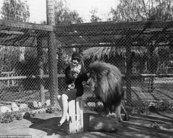 ლომებს ჰოლივუდის ფილმებში მონაწილეობის მისაღებად ამრავლებდნენ... გასული საუკუნის მტაცებლების უნიკალური ფერმა (იშვიათი ფოტოები)