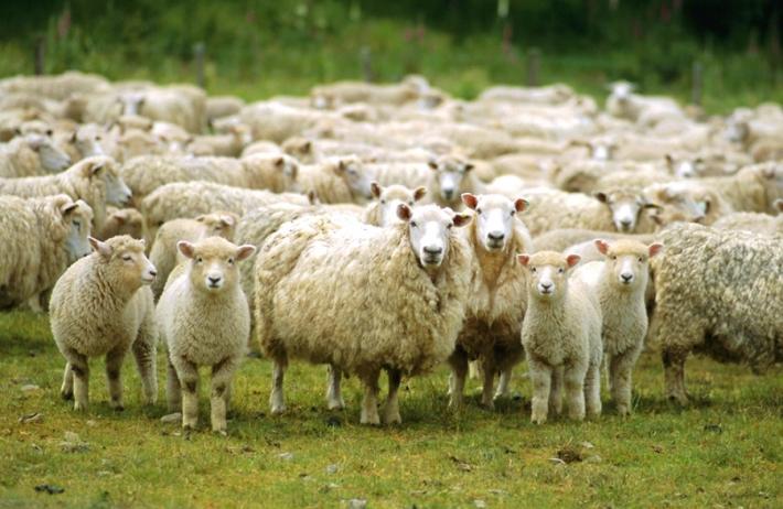 უფლისციხის მოსახლეობა სოფელში დაავადებული ცხვრის შეყვანას აპროტესტებს