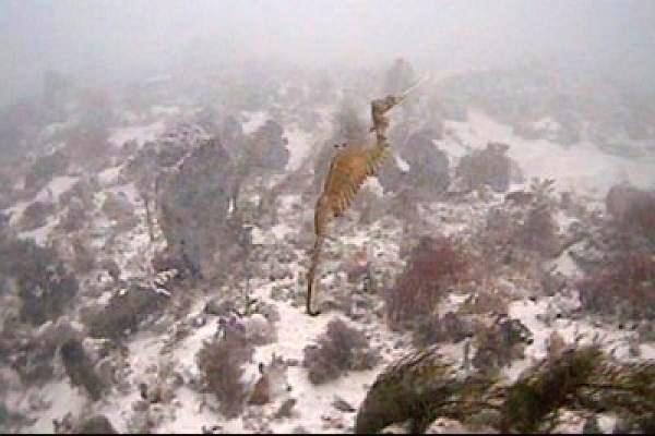 არსება, რომელიც კამერამ პირველად დააფიქსირა - ზღვის ლალისებრი გველეშაპი (+ვიდეო)